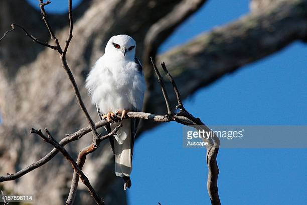 Blackshouldered kite small raptor grows to 35 cm tall with a wingspan of 90 cm Often seen hovering over tall grass in search of prey A specialist...