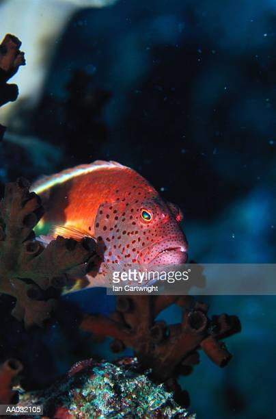 blackside hawkfish, maldives - hawkfish stock pictures, royalty-free photos & images