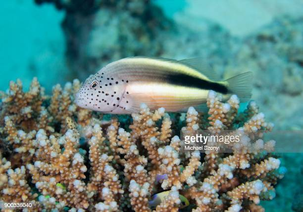 black-sided hawkfish (paracirrhites forsteri) in the reef, safaga, red sea, egypt - hawkfish stock pictures, royalty-free photos & images