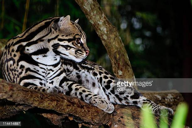 a black-spotted ocelot hanging out in a tree - ogphoto stock pictures, royalty-free photos & images
