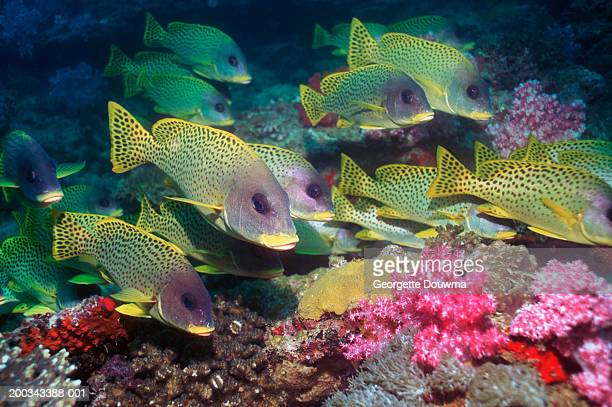 blackspotted sweetlips (plectorhinchus gaterinus) over coral - djibouti stock pictures, royalty-free photos & images