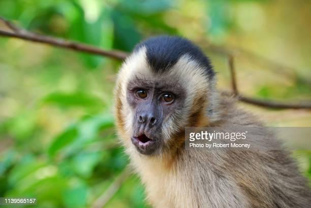 black-striped capuchin monkey in the pantanal, brazil - mono capuchino fotografías e imágenes de stock