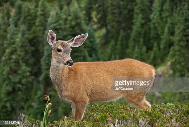 blacktail doe standing on a hill - herbivorous stock pictures, royalty-free photos & images