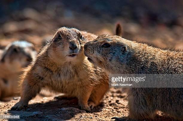 Blacktail prairie dogs (Cynomys ludovicianus)