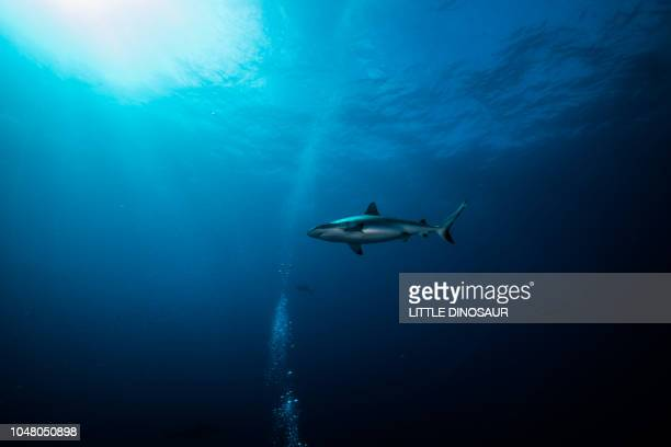blacktail reef shark, carcharhinus amblyrhynchos  (bleeker, 1856). shinning in sun beam. yap island, federated states of micronesia - shark stock pictures, royalty-free photos & images
