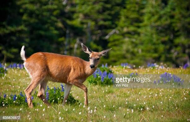 Blacktailed deer Hurricane Ridge Olympic National Park Washington