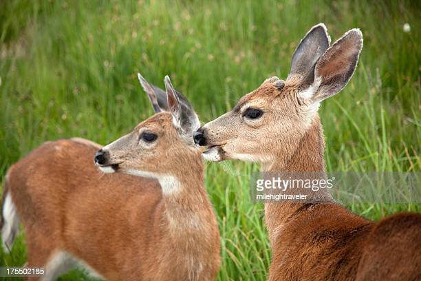 black-tailed deer pair olympic mountains washington - mule deer stock photos and pictures