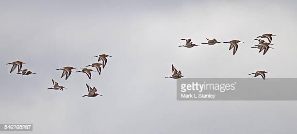 black-tailed godwit - limosa limosa - ウェックスフォード州 ストックフォトと画像