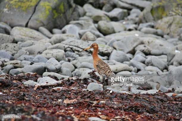 black-tailed godwit (limosa limosa), vatnsnes peninsula, northern iceland, iceland, atlantic ocean - vista lateral stock pictures, royalty-free photos & images