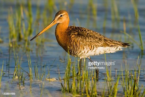 black-tailed godwit (limosa limosa), warmsee lake, apetlon, burgenland, austria, europe - vista lateral stock pictures, royalty-free photos & images