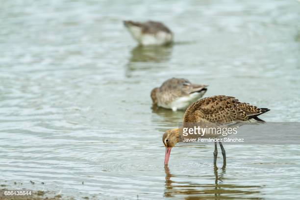 a black-tailed godwits feeding on the shore of the marsh of the camargue. limosa limosa. - サントマリードラメール ストックフォトと画像