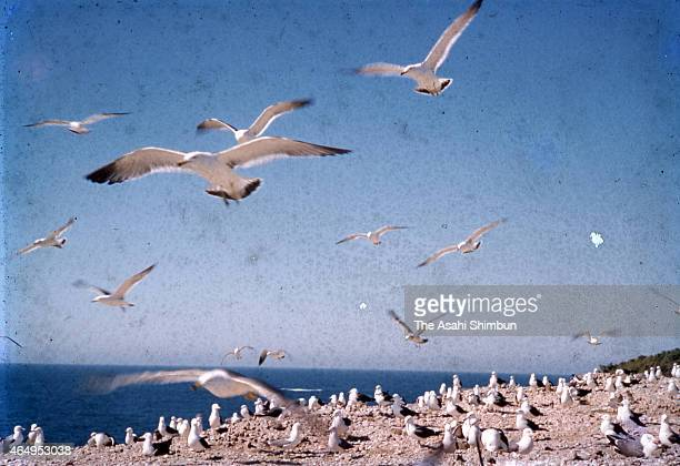 Blacktailed gulls are seen at Fumishima Island on May 27 1958 in Taisha Shimane Japan There used to be a Honomisaki Jinja Shrine building and no one...