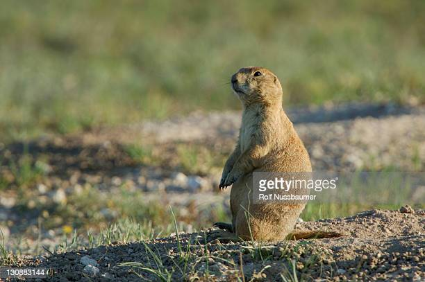 black-tailed prairie dog (cynomys ludovicianus), adult at entrance to burrow, lubbock, texas panhandle, usa - lubbock stock pictures, royalty-free photos & images