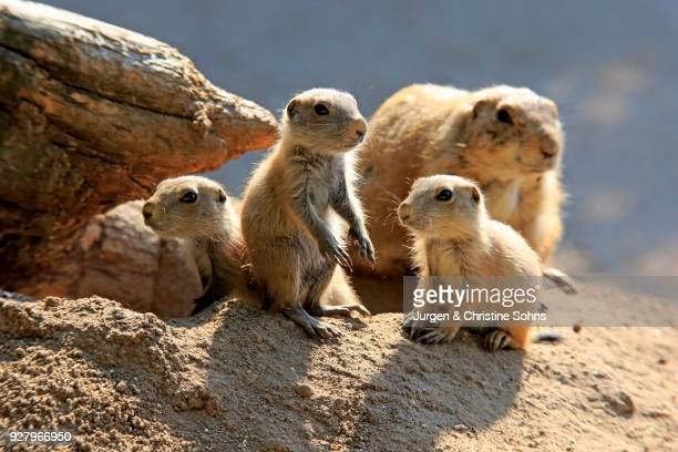 Black-tailed Prairie dog (Cynomys ludovicianus), adult with young animals at burrow, social behavior, occurrence North America