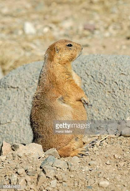 black-tailed prairie dog (cynomis ludovicianus), arizona sonora desert museum, saguaro national park west, tucson, arizona, usa - planchas_de_plata,_sonora stock pictures, royalty-free photos & images