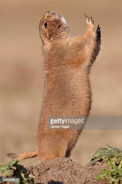 Black-tailed prairie dog (blacktail prairie dog) (Cynomys ludovicianus) calling, Custer State Park, South Dakota, United States of America, North America
