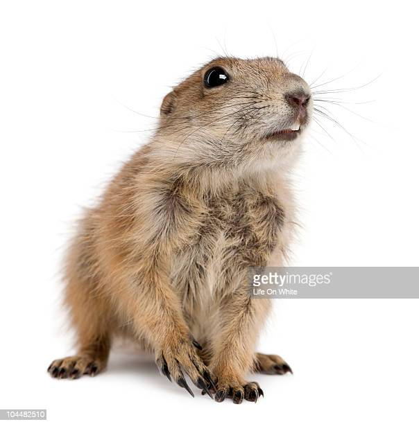 black-tailed prairie dog - cynomys ludovicianus - prairie dog stock pictures, royalty-free photos & images