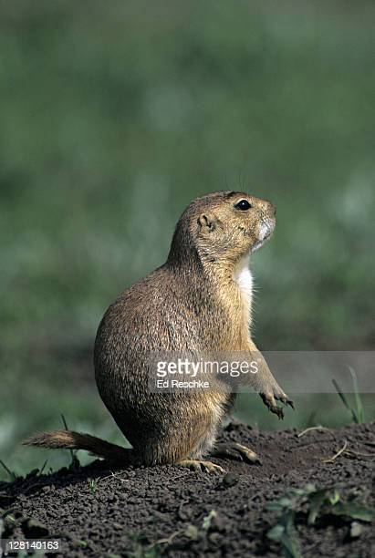 Black-tailed Prairie Dog, Cynomys ludovicianus, standing upright, Wind Cave National Park, South Dakota, USA