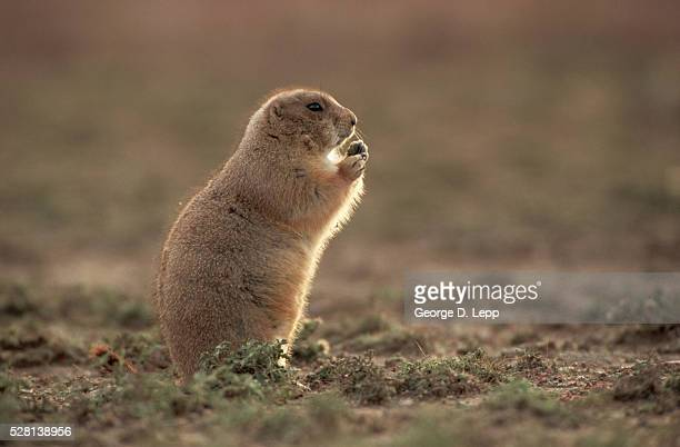 black-tailed prairie dog eating - prairie dog stock pictures, royalty-free photos & images