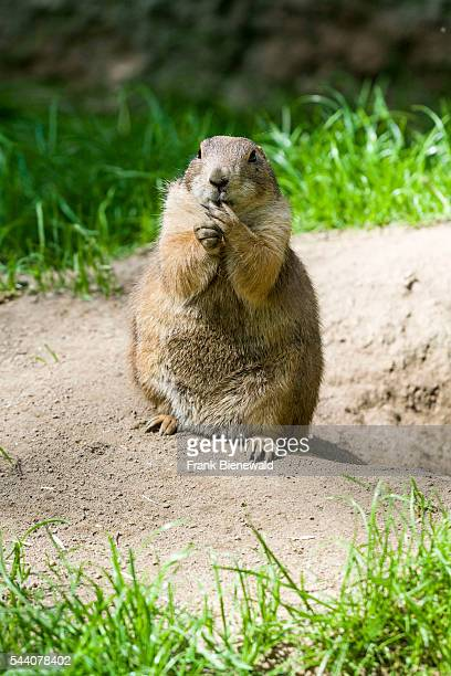 Blacktailed prairie dog is sitting on the ground at the zoo