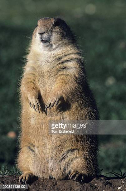 Black-tailed prairie dog standing, front vertical view, USA