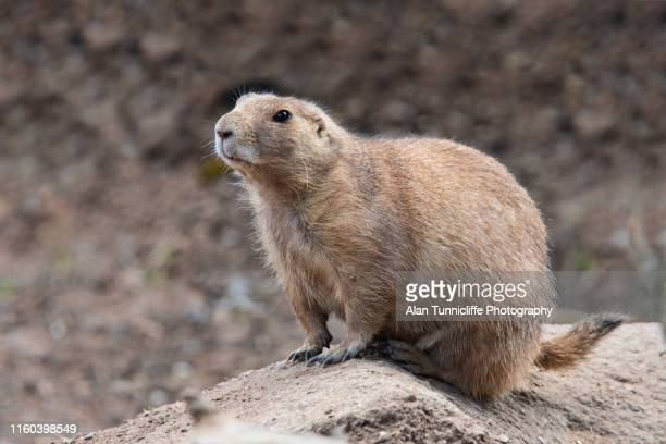 black-tailed prairie dog standing on a rock - prairie dog stock pictures, royalty-free photos & images