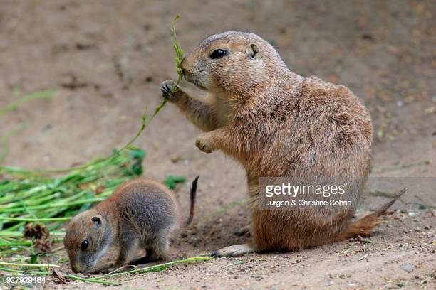 Black-tailed Prairie dogs (Cynomys ludovicianus), dam with young animals, feeding, social behavior, occurrence North America, captive
