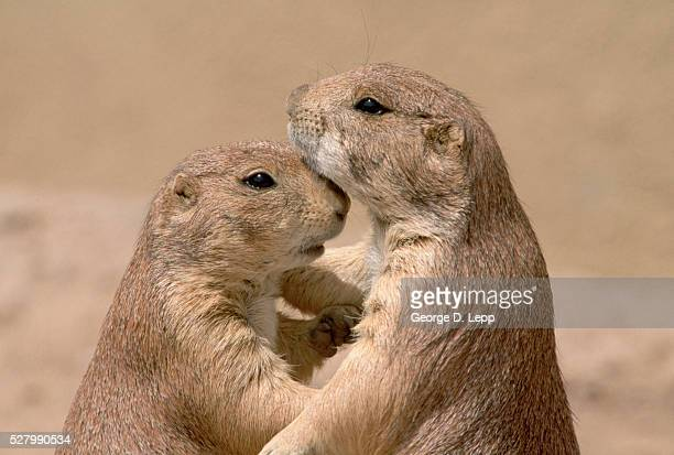 Black-Tailed Prairie Dogs Holding Each Other