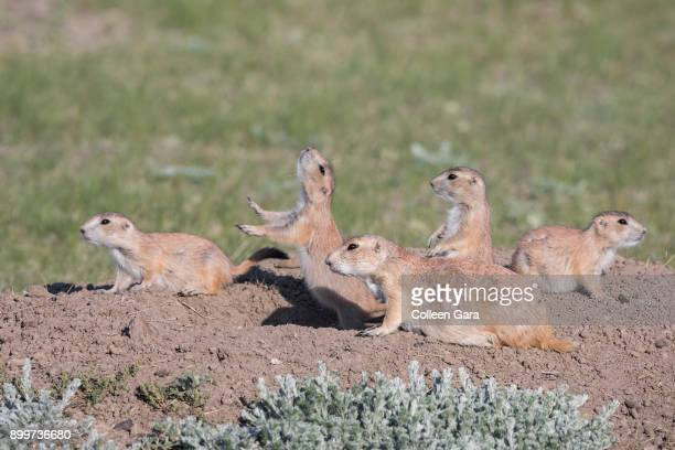 black-tailed prairie dogs near burrow, grasslands national park, saskatchewan, canada - canadian prairies stock photos and pictures