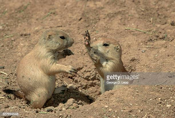 Black-Tailed Prairie Dogs Playing in Dirt