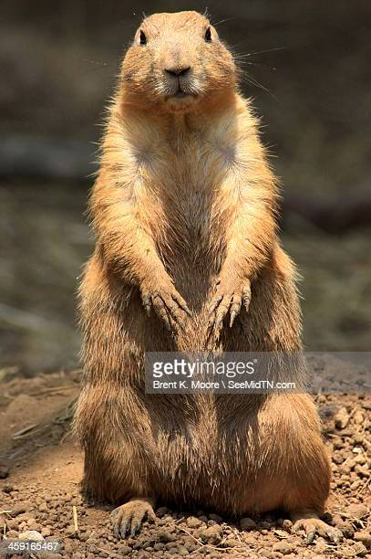 Black-Tailed Prarie Dog Standup