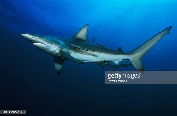 Blacktip reef shark (Carcharhinus melanopterus) and sharksucker fish (Echeneis naucrates)