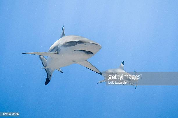 blacktip reef shark - lagarde stock photos and pictures