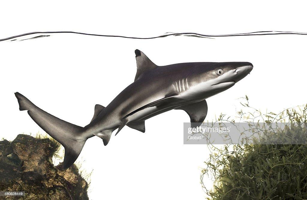 Blacktip reef shark swimming under water line, among plants : Stock Photo