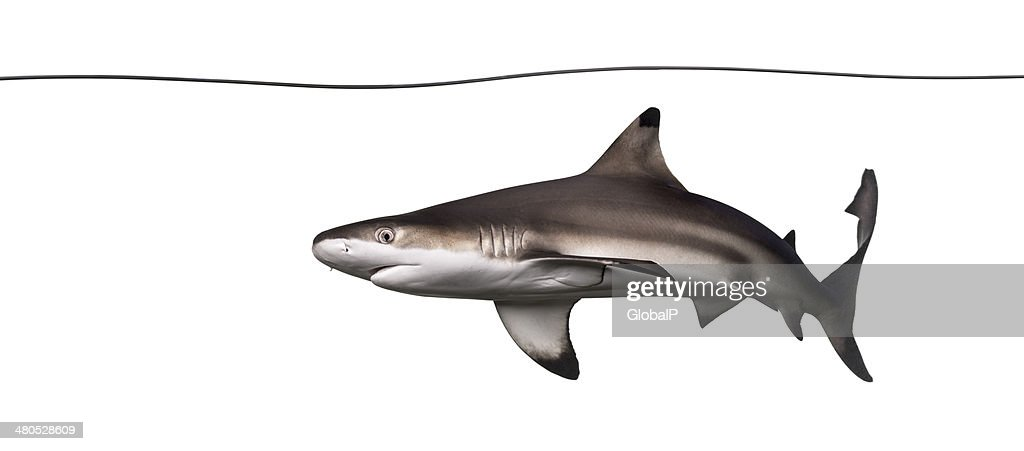 Blacktip reef shark swimming under water line, Carcharhinus mela : Stock Photo