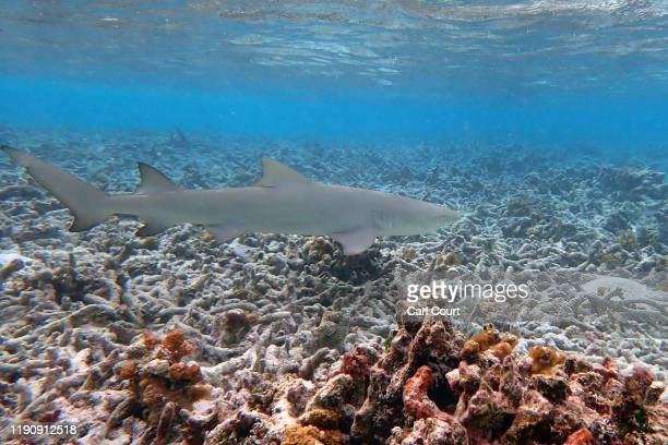 Blacktip reef shark swims over dead coral off the island of Huraa on December 12, 2019 near Male, Maldives. Some parts of the Maldives are believed...