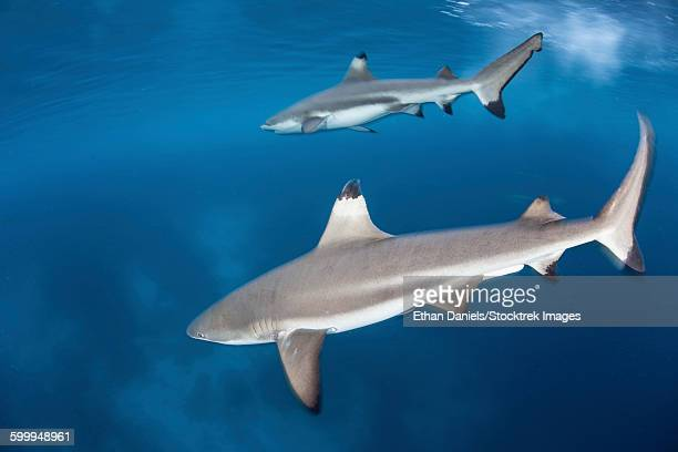 Blacktip reef sharks swim just under the surface in the Solomon Islands.