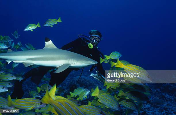 blacktip reef sharks,carcharhinus melanopterus, with diver, polynesia - diving into water stock pictures, royalty-free photos & images