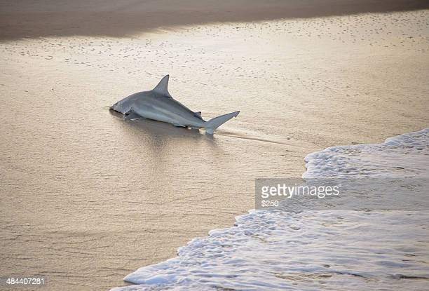 black-tip shark on florida beach - stranded stock photos and pictures