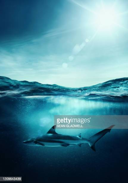 blacktip shark - shark stock pictures, royalty-free photos & images