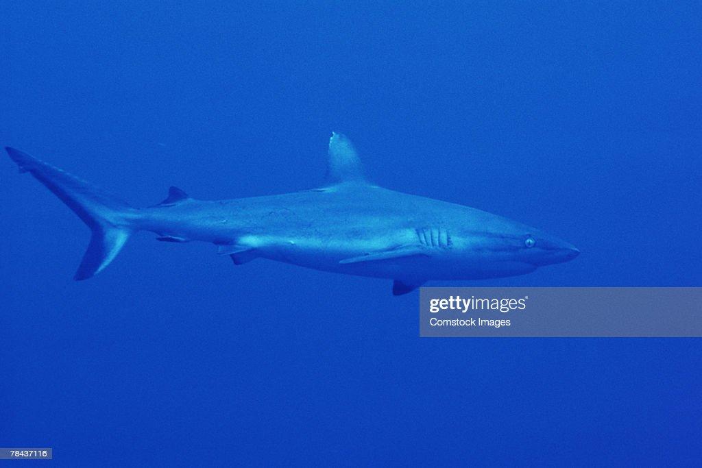Black-tip shark : Stockfoto