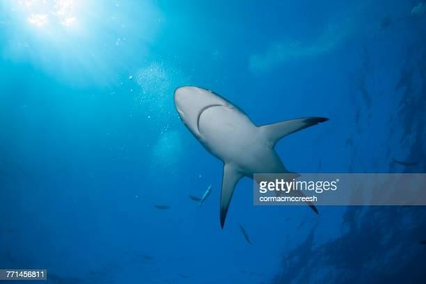 blacktip shark swimming underwater, kwazulu-natal, south africa - kwazulu natal sharks stock photos and pictures