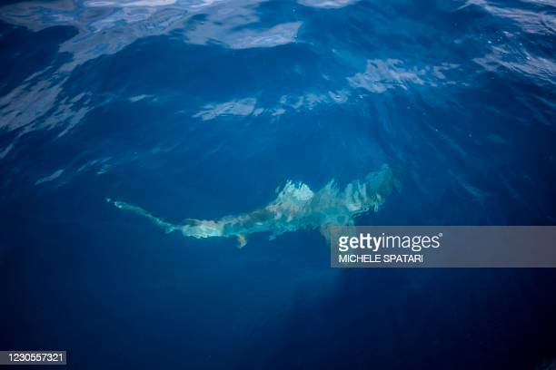 Black-tip shark swims by an inflatable boat attracted by a bait thrown in the ocean for a baited shark dive in Umkomaas near Durban, South Africa, on...