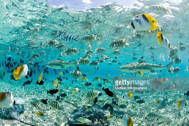 blacktip sharks and tropical fish in bora-bora lagoon - oceano pacifico foto e immagini stock