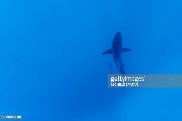 Black-tip sharks is seen swimming during a baited shark dive in Umkomaas near Durban, South Africa, on December 10, 2020. - Aliwal Shoal, a...