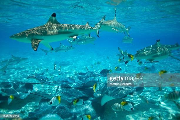 blacktip sharks, stingrays and threadfin butterflyfish in tropical waters. - bora bora imagens e fotografias de stock
