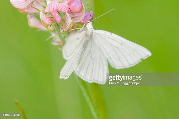 Black-Veined White, Siona Lineata On Sainfoin, Onobrychis