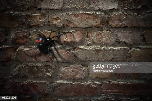 blackwidow spider walking on a brick wall - black widow spider stock photos and pictures