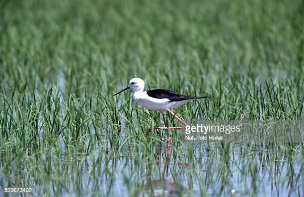 black-winged stilt wading through rice field - delta del ebro fotografías e imágenes de stock