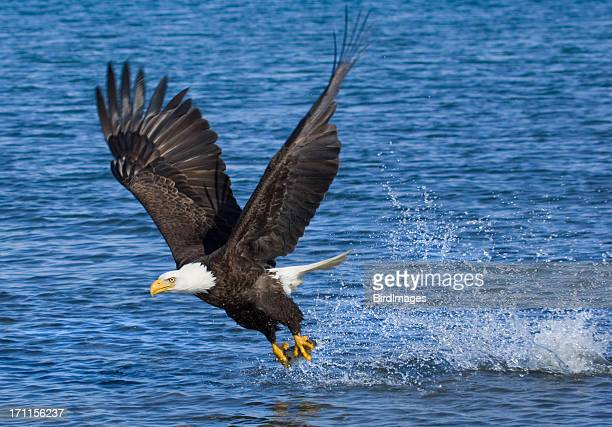 blad eagle catching fish - alaska - bald eagle stock pictures, royalty-free photos & images